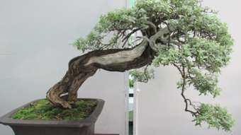 BONSAI, la naturaleza más cerca tuyo | Bonsai