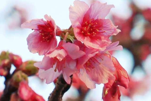 Contemplación del Sakura